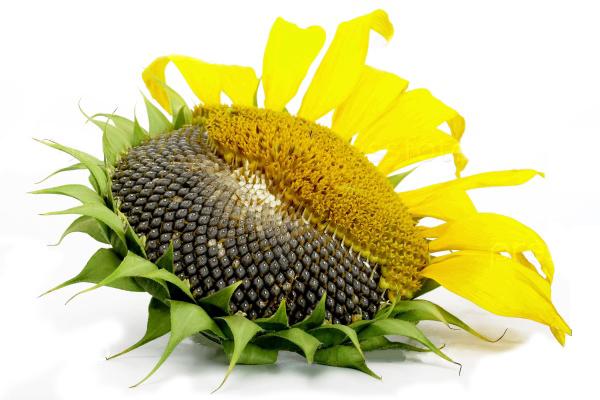 Купить семена гибридов подсолнечника