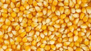 семена кукурузы фото купить