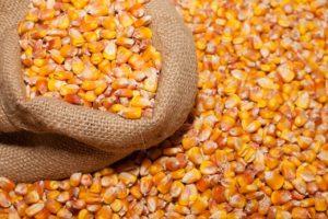 Купить оптом Ладожский семена кукурузы
