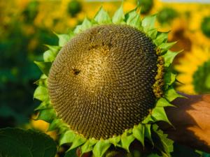 Семена подсолнечника оптом НС Х 6013 особенности сорта