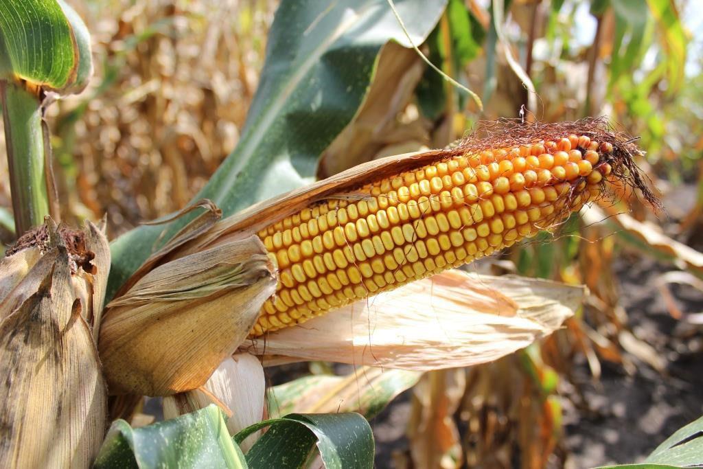 Семена кукурузы Ладожский 221 АМВ купить оптом Врн-Агро