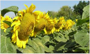 Купить семена гибридов подсолнечника НС Х 626 цена