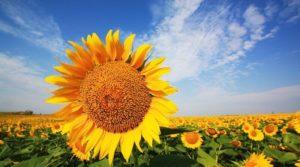 Семена подсолнечника НС Х 6007 оптом технология выращивания