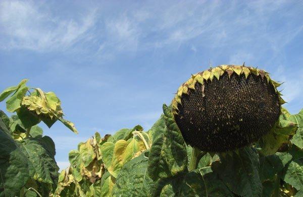 Семена подсолнечника оптом НС Х 6016