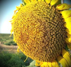 Нови Сад купить оптом семена подсолнечника