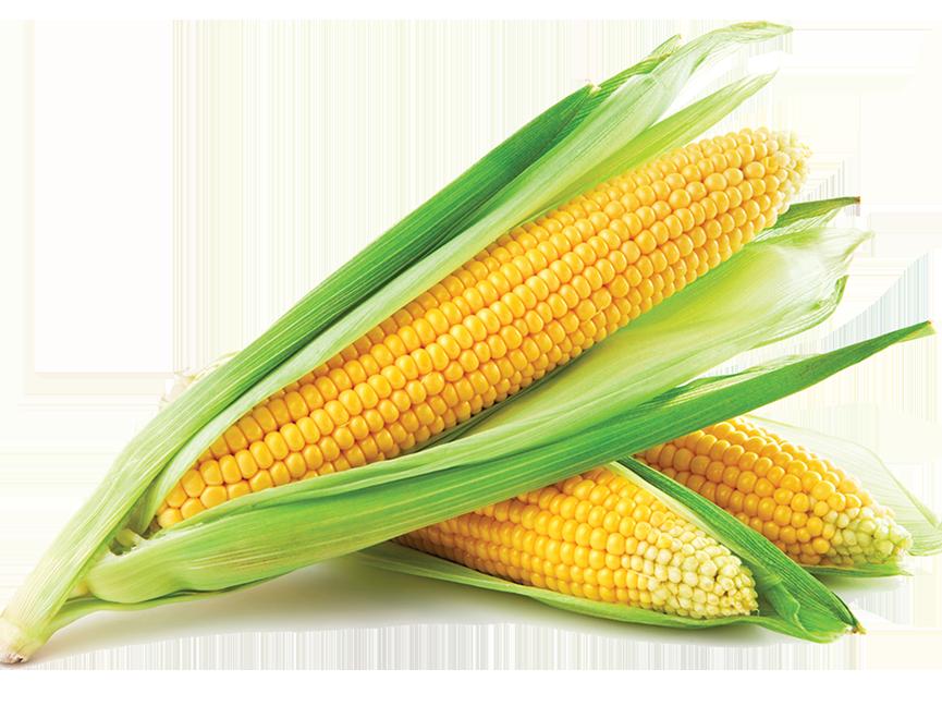 Купить семена кукурузы гибрид оптом