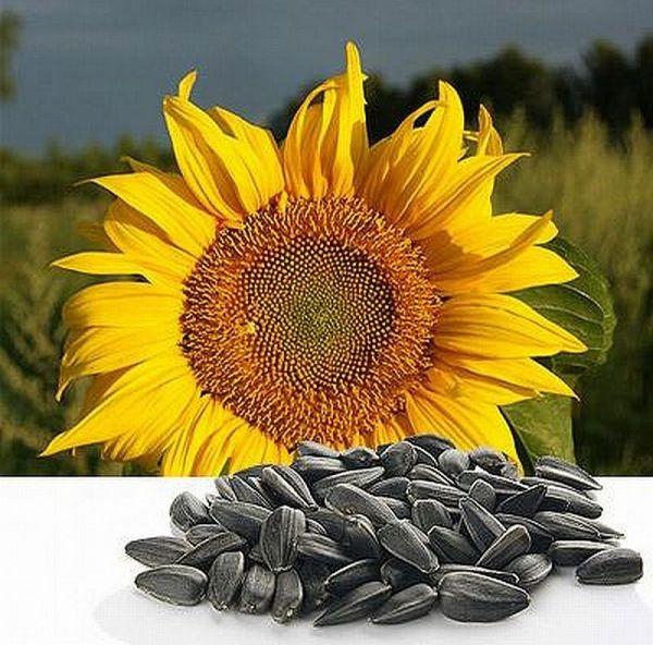 Купить семена гибридов подсолнечника однолетнего