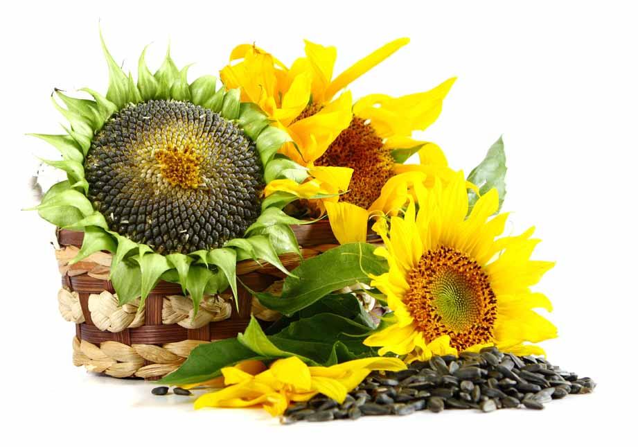 Купить семена подсолнечника оптом