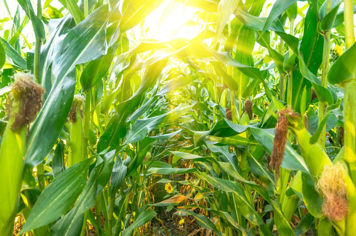 Семена гибрид сорт кукурузы