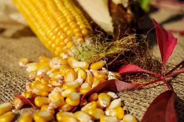 Качественные семена кукурузы Монсанто