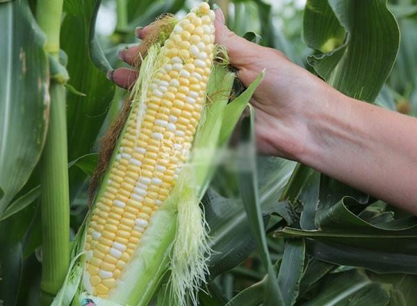 Семена гибридов кукурузы особенности
