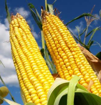 семена кукурузы опт