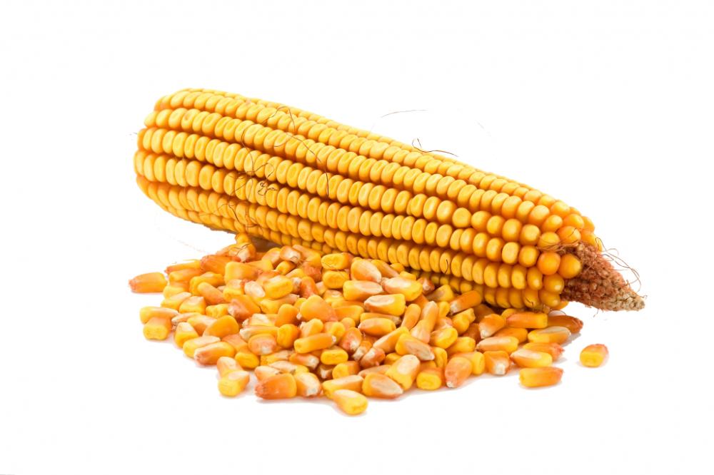 купить семена гибридов кукурузы сорт монсанто