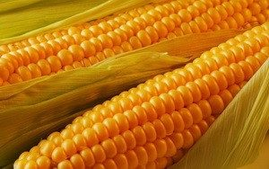 Купить семена кукурузы Ладожский 191 МВ оптом