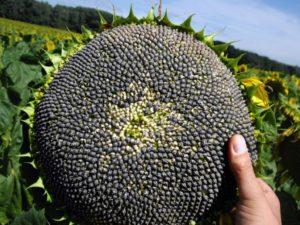 подсолнечник семена гибридов купить производитель