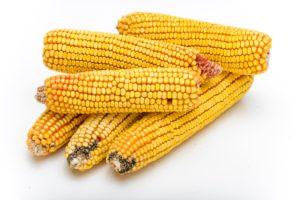 где приобрести оптом семена кукурузы компания