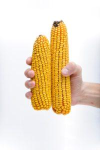 Семена кукурузы Ладожский410МВ оптом купить столовые сорта