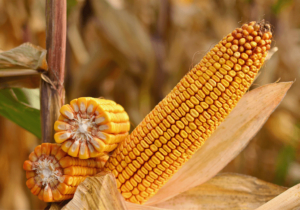 Купить оптом семена кукурузы