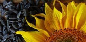 Гибрид семян подсолнечника АРМАДА СЛ – CLEARFIELD