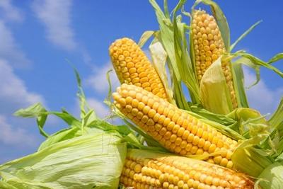 семена кукурузы гибрид