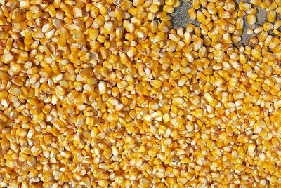 семена кукурузы оптом