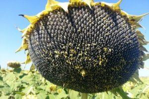 семена гибриды подсолнечника