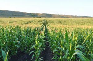 семена кукурузы на силос